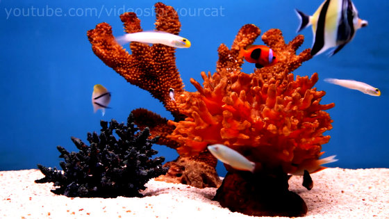 Videos For Your Cat Fish Tanks Trigger Fish Yellow