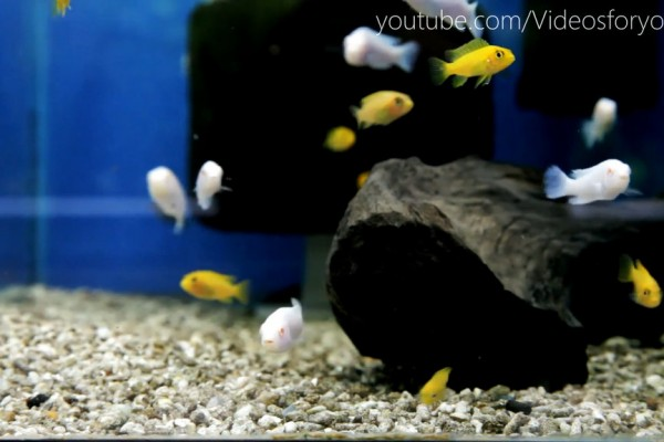 Videos for your Cat - Yellow and White Cichlids