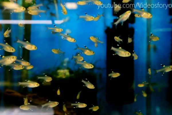 Videos for your Cat - Yellow Tetra Fish Tank