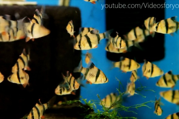 Videos For Your Cats - Twitchy Tiger Barbs
