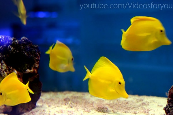 Videos For Your Cat - Yellow Tangs